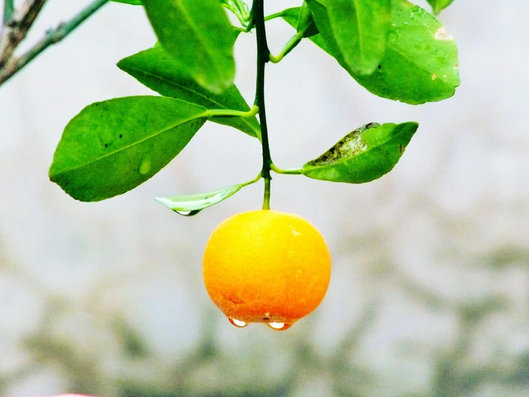 Two oranges sitting on a leaf